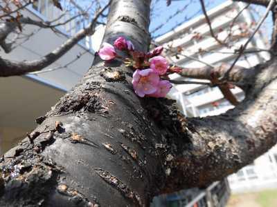 *桜が咲きました*