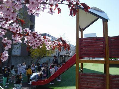 *園庭の桜*